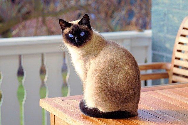シャム猫(サイアミーズ)の性格や特徴って?色や体重、飼い方まとめ