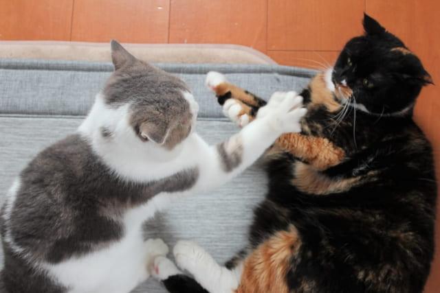 猫の喧嘩は縄張り争い?じゃれあいとの違いは?