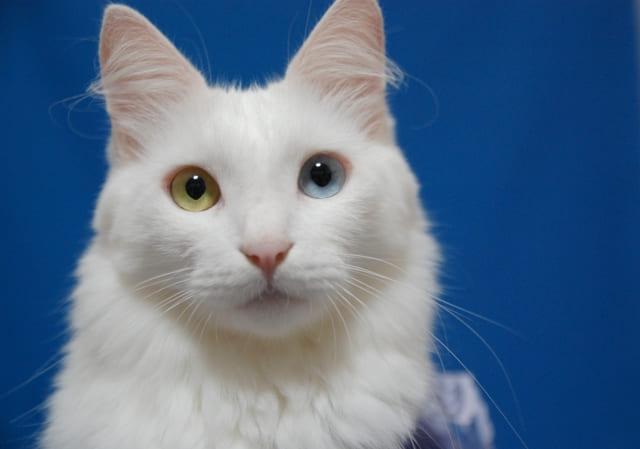 なぜオッドアイに?どんな猫種がなる?
