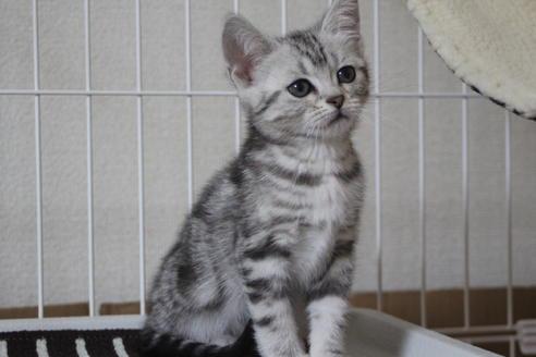 ブリーダー 子猫